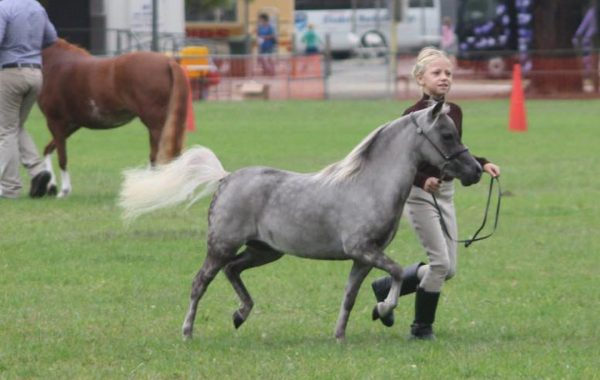 2016 IMHR National Champion Senior Miniature Horse Liberty